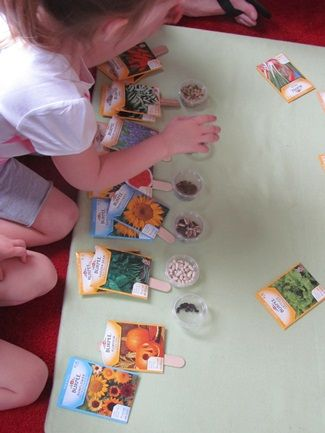Exploring seeds using The Tiny Seed by Eric Carle (or any other seed book you choose)