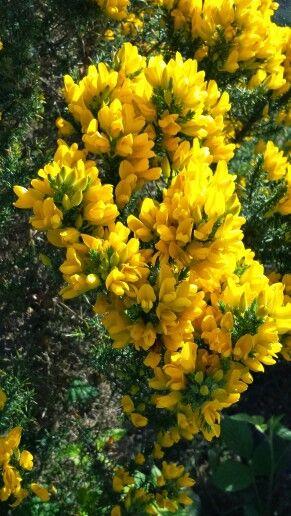 Denna buske, Ärttörne, blommade överallt