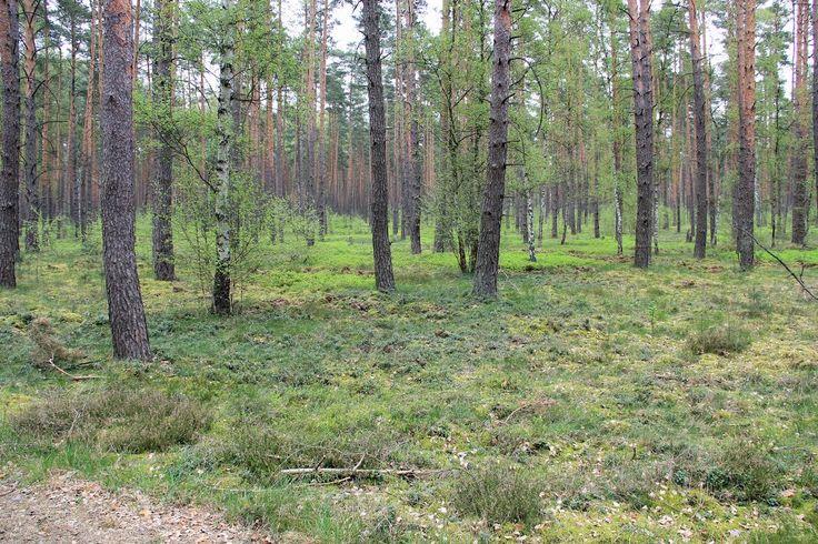 Preiselbeer-Blaubeer-Kiefernwald im Biosphärenreservat Schorfheide-Chorin. [2014]