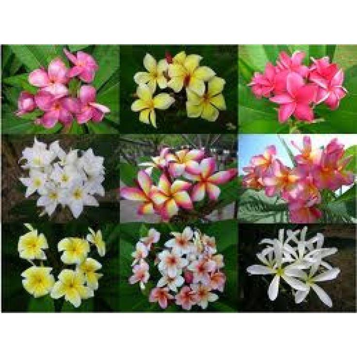 Plumeria div kleuren mix 15 zaden