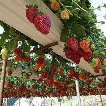 Strawberries growing in rain gutters!