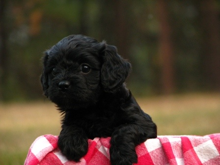 Black Cavapoo puppy pictured @ 5 weeks! <3 www.pinewoodcavapoos.com Find us on Facebook as Pinewood Kennels.