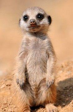Cute meerkats ❤️❤️