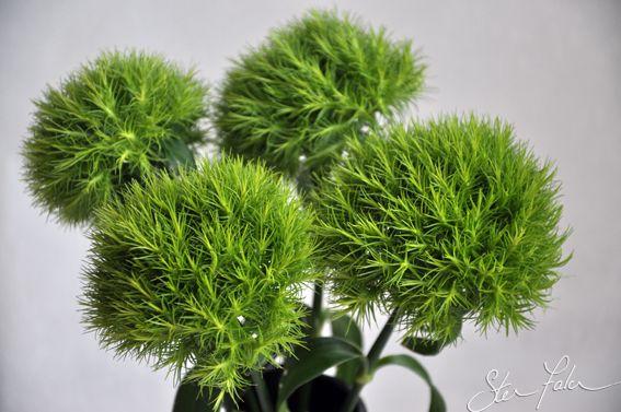 green trick carnation - Dianthus barbatus 'Temarisou ...