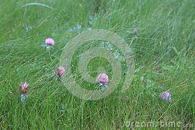 The flowers are of pink clover on the lawn after rain