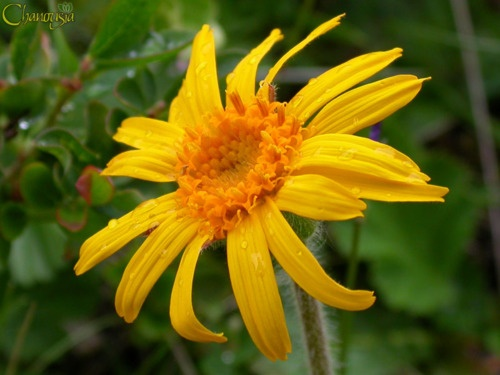 Arnica Montana. Bright greens leaves, tiny yellow-orange blossoms. It's the daisy's cousin from high atop the Siberian Mountains (not Montana, as you would think) and it has tremendous healing power.