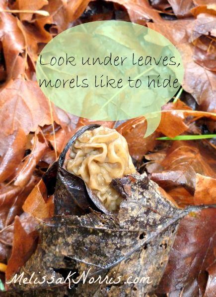 Morels like to hide, look under leaves @MelissaKNorris