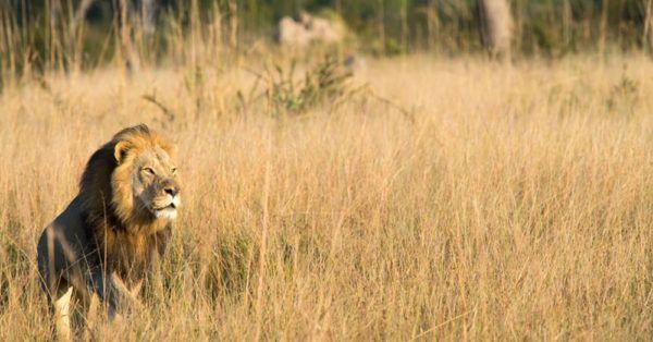 Cecil's Eldest Son, Xanda, Killed Outside Park In Zimbabwe