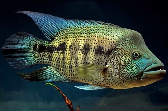 17 best images about cichlids on pinterest malawi for Freshwater wolf fish