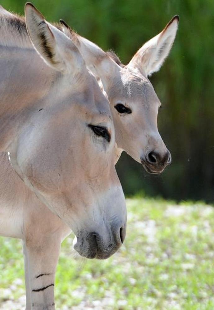 Baby Somali Ass: Farm Animals, Working Horses Mules Oxen, Animal Kingdom, A Donkey S, Animal L Ve, Baby Animals, Baby Somali, Amazing Animals, Somali Ass