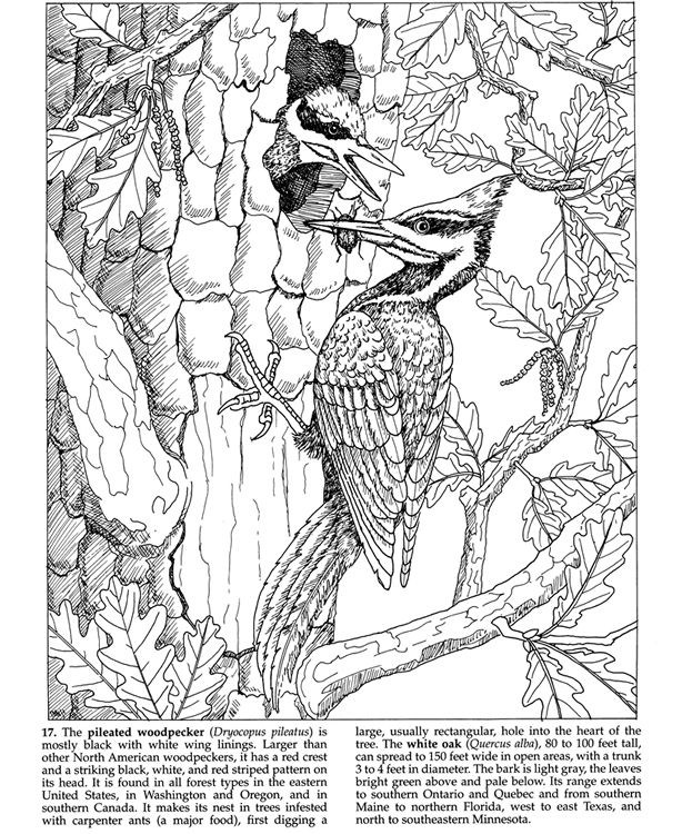 Welcome To Dover Publications Forest Animals Coloring Book Woodpecker Page