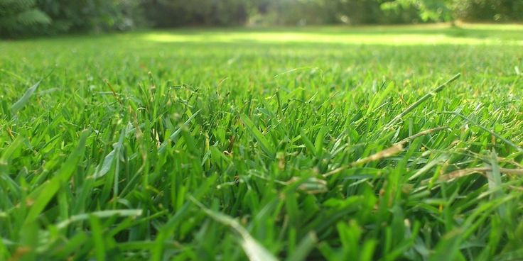 What Makes St Augustine Grass Soft or Scratchy Saint