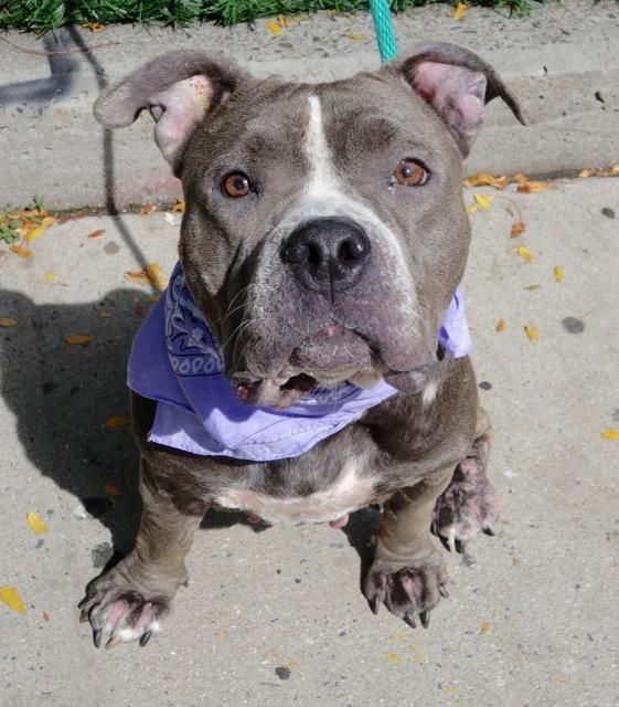 TO BE DESTROYED 09/24/16 **ON PUBLIC LIST** A volunteer writes: Zelda was on my list of dogs to meet. So, I asked :