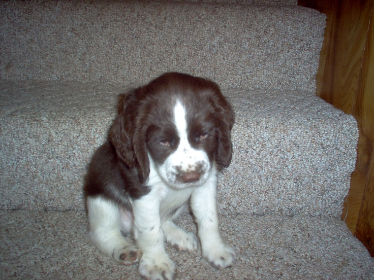 Springer spaniel george when he was a puppy animals - Free cocker spaniel screensavers ...