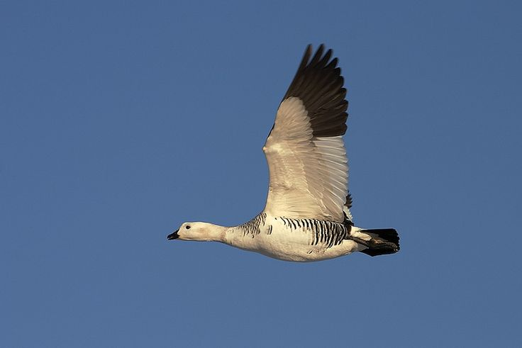 #Upland #goose #flying #beauty #poetryinmotion #flight in #Patagonia