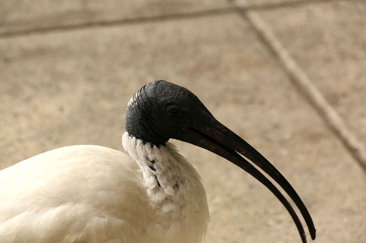 Some people find Ibis ugly, but I'm bloody fascinated by them. Brisbane