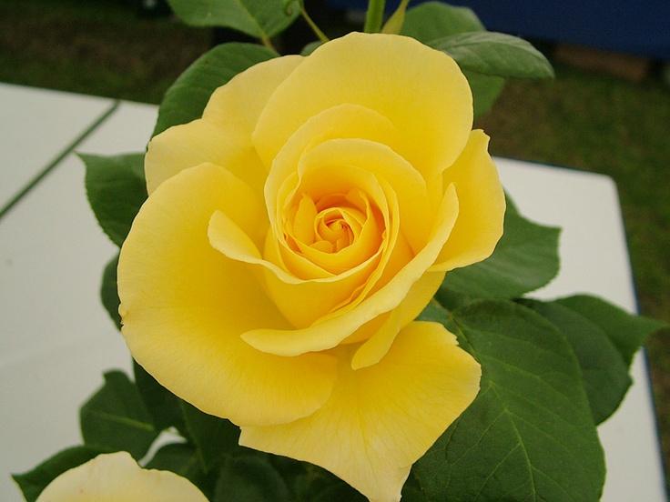 2010 Winner. Rose Show. Badshot Lea. Glorious.