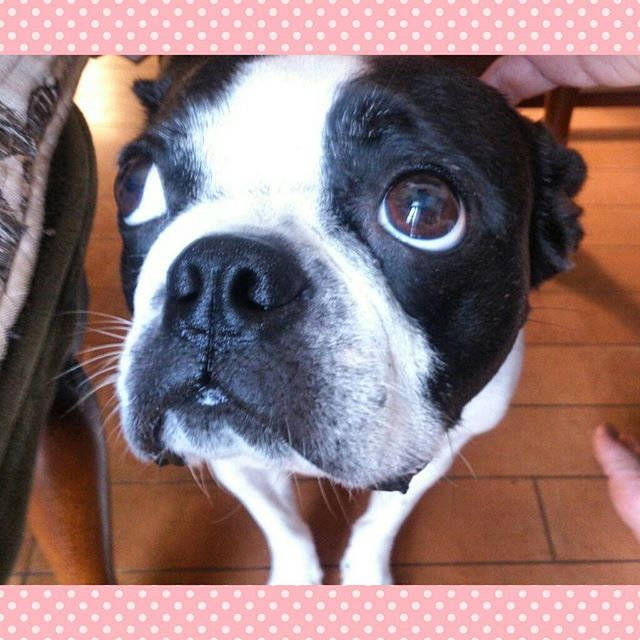 Could you give me a nice treat? #bostonterrier #bostonterrierlove #bostonterriersforever #btcult #doggy #dogfessional #doglover #dogsandpals #dogsofinstagram #dogscorner #cutedog #flatnosedogsociety #ilovemydog #insta_dogs #placingpets #ボストンテリア #上目遣い by dj_hui