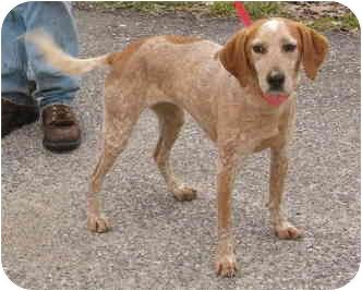 red tick coonhound Beagle/Redtick Coonhound Mix Dog for