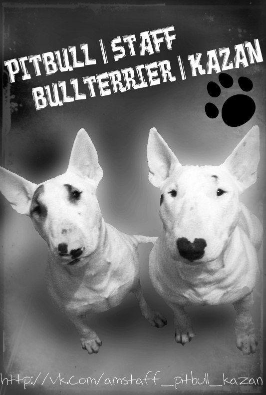PITBULL   STAFF   BULLTERRIER   KAZAN