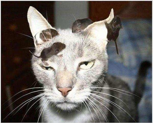 Eine Katze schaut mürrisch in die Kamera. Auf ihrem Kopf turnen vier kleine Mäuse herum. Die Katze scheint das nicht zu stören. Sie denkt nicht daran, sich die Mäuse zu schnappen.