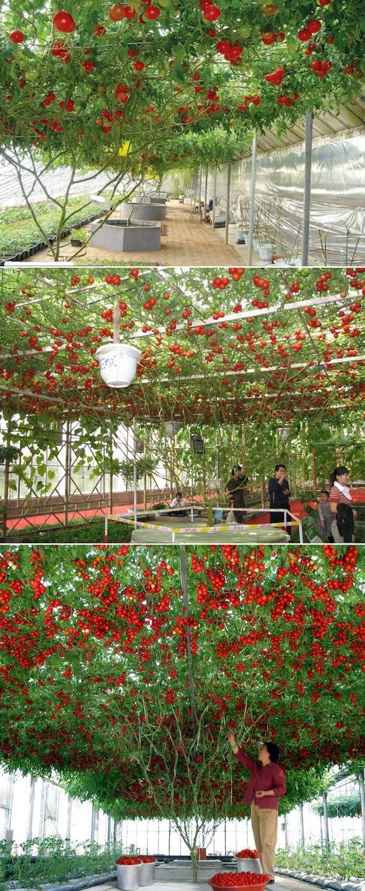 The Giant Tomato Tree is a gardener's dream come true! It is a virtual tomato factory with a new crop of farm fresh tomatoes each week, every week. You can produce up to 180 pounds of super-sized tomatoes for less than a penny a piece. This amazing Giant Tomato Tree zooms to a towering eight feet tall in just 90 days!