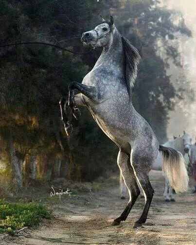 Dapple stallion
