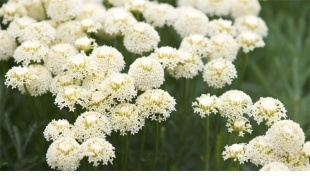 Yarrow: lo scudo antistress