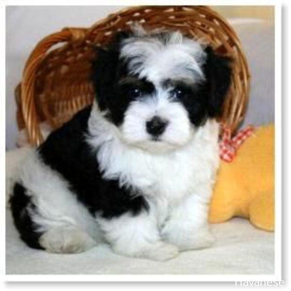 Havanese Intelligent And Funny Havanese Havanese Puppies