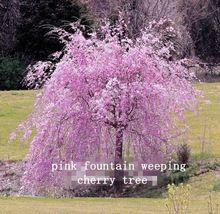 10 Rosa Fuente Enano Llorón Cerezo Semillas Jardín de DIY Semillas de Árboles Perennes Envío Gratis(China (Mainland))