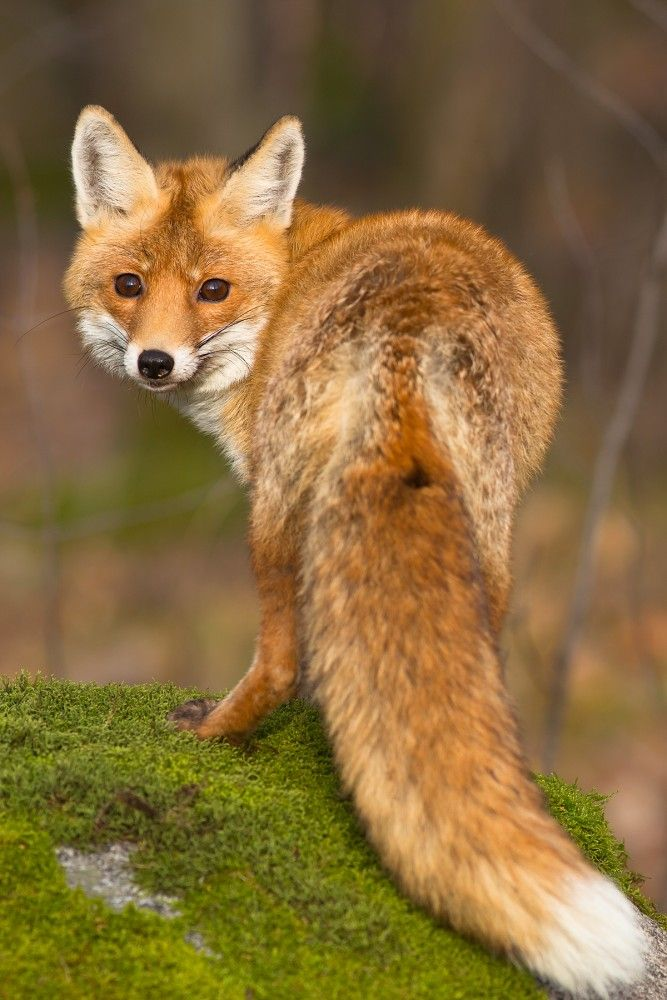 Vulpes vulpes / Red fox / Liška obecná - Milan Zygmunt