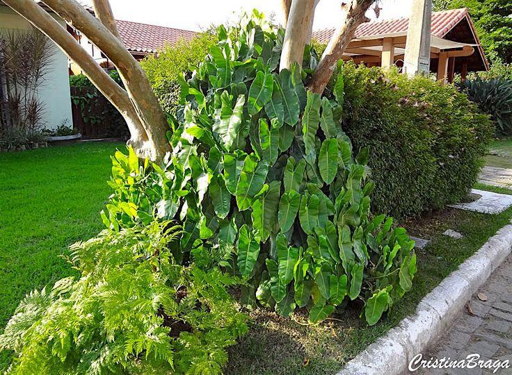Imbê – Philodendron imbe - Herbácea com folhas em forma de coração alongado, coriáceas brilhantes ...
