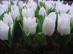 Тюльпан (многоцветковый)Новые комментарии