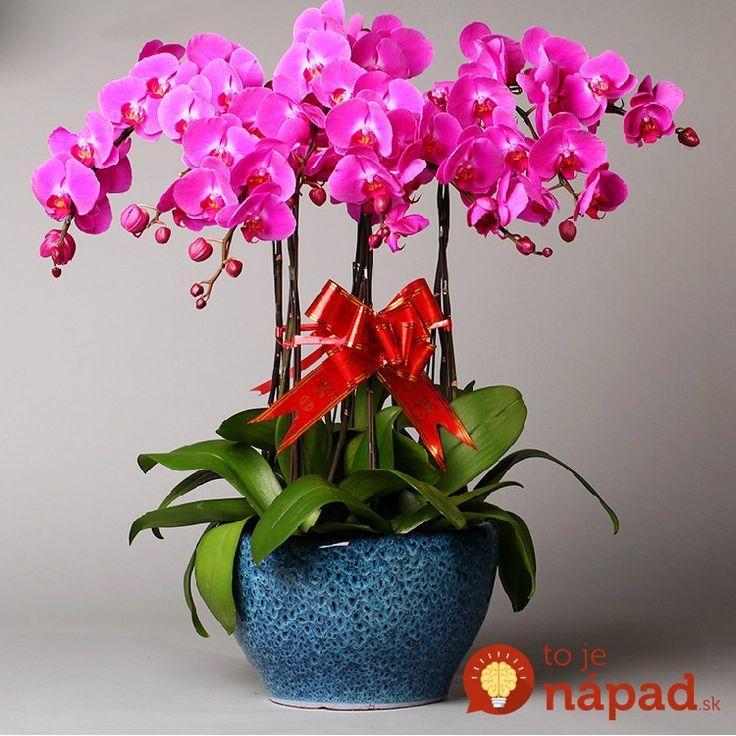 Vďaka rade pani z kvetinárstva bude mať orchidea väčšie a krajšie kvety, ako kedykoľvek predtým: Už ich mám pár rokov a nikdy neboli takto obsypané!