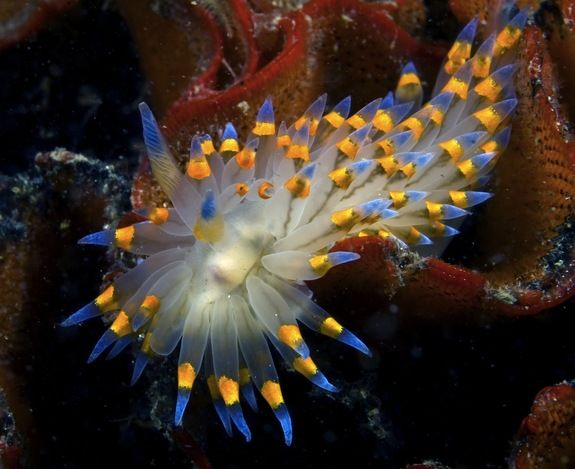 """Marine scientists believe that the colors on nudibranches keep predators at bay, much like a neon sign reading, """"Tastes terrible, do not eat!"""" And indeed, some nudibranches store up toxins from their diet of poisonous sponges, making the slug-like creatures themselves deadly to predators."""