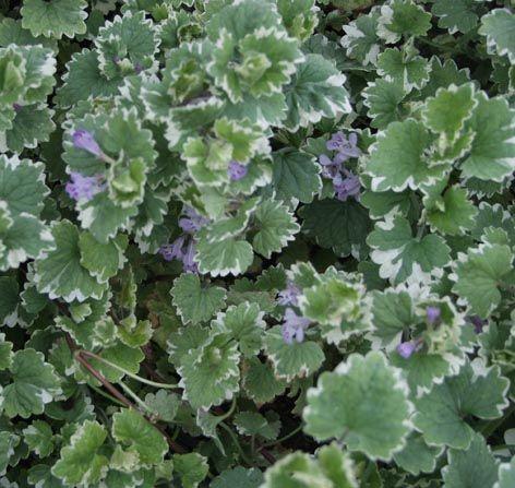 Valko-vihrelehtinen maahumala