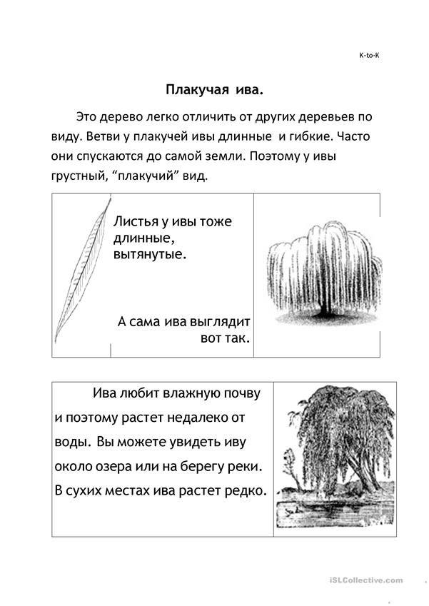 Плакучая ива. Текст-описание с иллюстрациями. Понимание прочитанного.