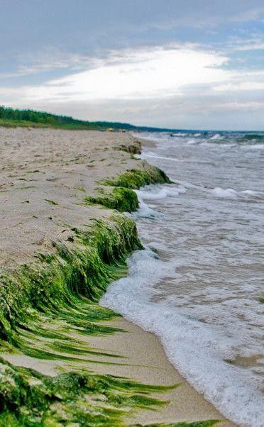 Seaweed washed up # Baltic Sea Poland