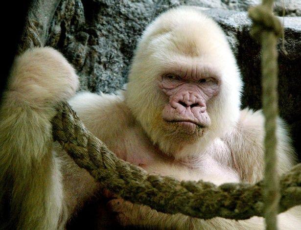 """""""Copito de Nieve"""" (""""Floco de Neve""""), um gorila de 40 anos, era o único animal albino dessa espécie de que se tem conhecimento. Ele viveu no zoológico de Barcelona, na Espanha. Após sua morte, pesquisadores chegaram a investigar seu DNA e descobriram que o albinismo foi causado por uma mutação transmitida pelos pais."""