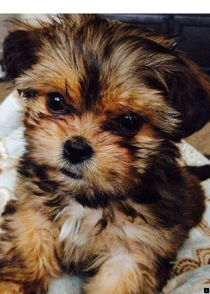 Pin by Dog Boutique Blog on Dogs Shorkie puppies
