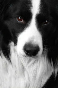 Border Collie - I haven't been pinning animal portraits on this board; however, I couldn't resist this portrait. We used to have a border collie - a beautiful, intelligent, high energy dog. Miss her still!