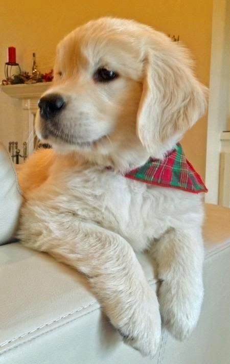 Top 5 Beautiful Golden Retriever Puppies