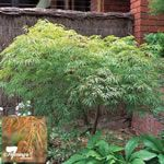 Acer palmatum 'Dissectum Sekimori' -  A lovely weeping Japanese maple with a graceful 'feathery' appearance and providing an attractive autumn display. Excellent for sheltered courtyards and small parks and gardens.
