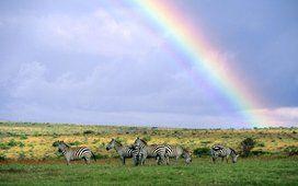 arco-íris sobre rebanho de zebras no quênia