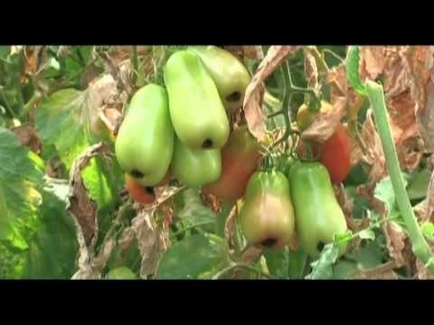 Coltivazione e Malattie del Pomodoro: Fusarium, Nematodi, Marciume Apicale