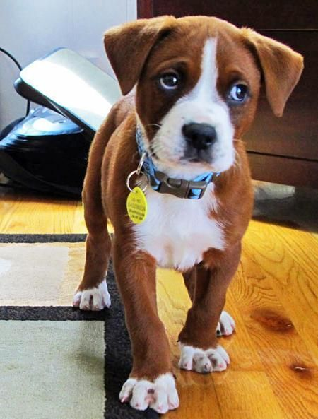 Boxer puppy... Look at his little face!