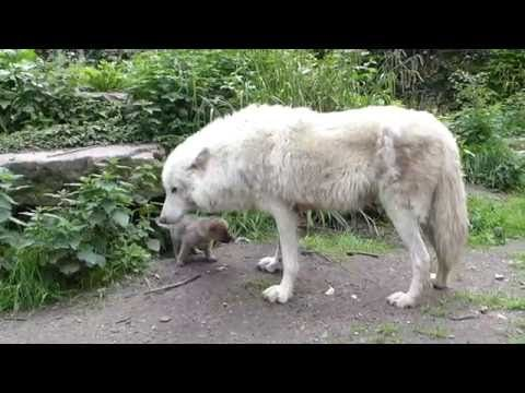 White Wolf : Amsterdam Wildlife Park Welcomes 3 Amazing Wolf Pups (Video)