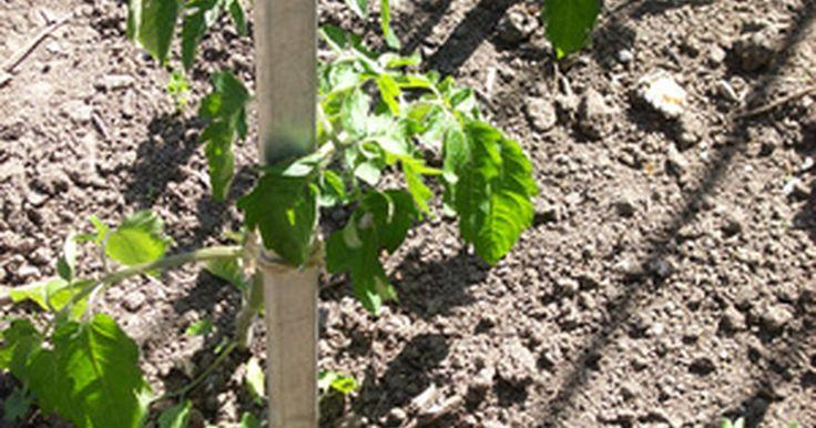 ¿Qué necesitan los frijoles para crecer?. Los frijoles son un cultivo popular en el verano debido a su próspero crecimiento, y su cosecha verde y fresca. Entre la familia de los frijoles se incluyen judías verdes, los frijoles amarillos, los frijoles lima, las alubias, las habas, el frijol de ojo negro, la soja y el ayocote, para nombrar algunos. Todos los frijoles requieren de un cuidado ...