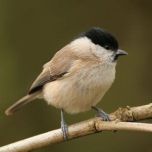 Marsh Tit food
