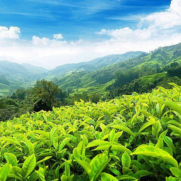 Teeplantagen  Indien ist einer der größten Teeproduzenten der Welt. Es gib eine Menge von Teeplantage die meistens sind in den beliebten Bergstationen zu finden. In jeder Region hat der Tee einen ausgeprägten Geschmack und ist richtet sich nach Klima Boden und Herstellungsverfahren.  www.teelux.de  Darjeeling steht ganz an der Spitze wenn Sie eine Tee Tour durch Indien machen wollen. Der Tee aus der Bergregion Darjeeling ist weltberühmt und wird in alle Teile der Welt exportiert. Die feinste…